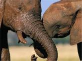 人音版音樂一年級下冊:可愛的小象 PPT課件