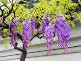 人教部編版語文課件《紫藤蘿瀑布》